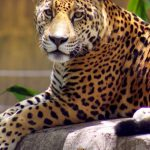 wallpaper-tamatan-jaguar-movil